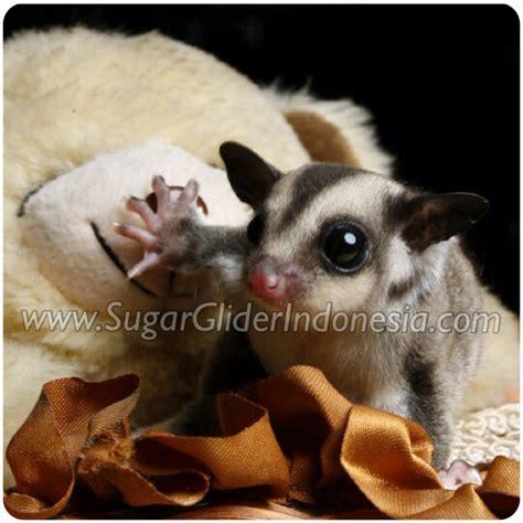 Sugar Glider Joey Grey 1 5 Bulan jual sugar glider jinak harga murah wa 0817 0304 9099