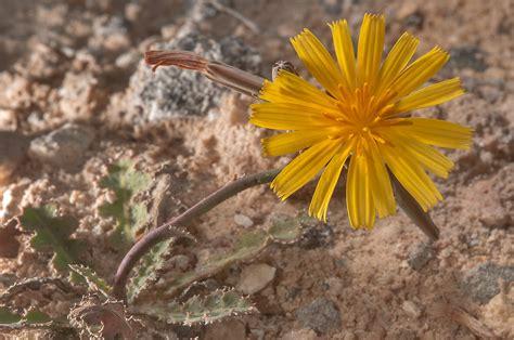 desert flower photo 1178 02 desert flower of launaea mucronata local