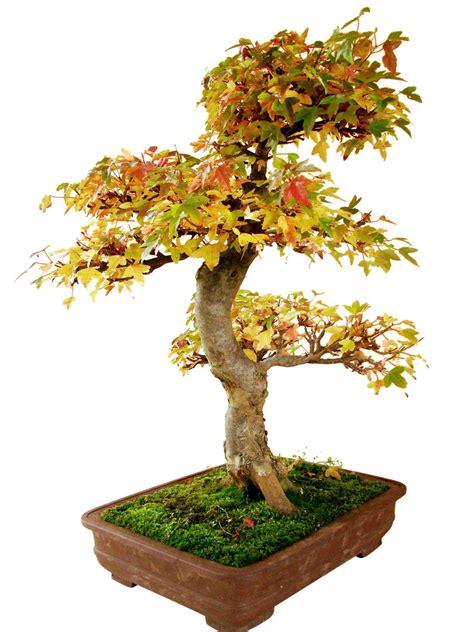 genki bonsai dreispitzahorn ab25 1 genki bonsai