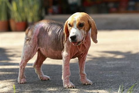 sarcoptic mange in dogs best home remedies for mange in dogs causes and treatment