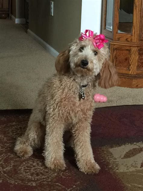 your doodle puppy year 47 best the apricot goldendoodle images on