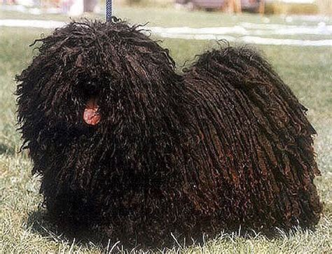 dogs with dreads 6 breeds with dreadlocks and how that even works rover