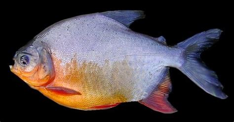 Makanan Ikan Hias Patin mengenal umpan jitu mancing ikan bawal