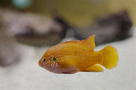 seawall luau grounds fish colorful orange yellow tropical fish aged stock image