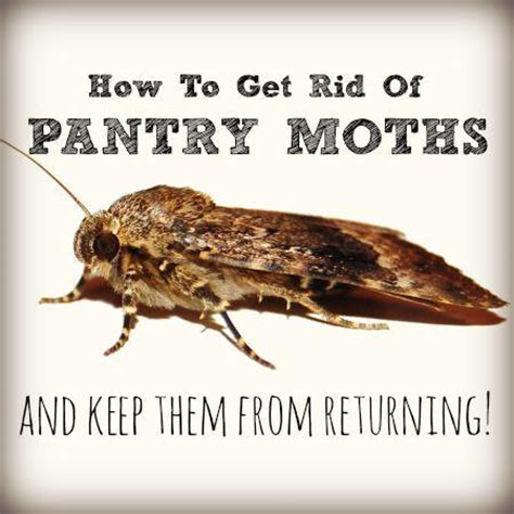 How To Kill Moths In Pantry by How To Get Rid Of Pantry Moths