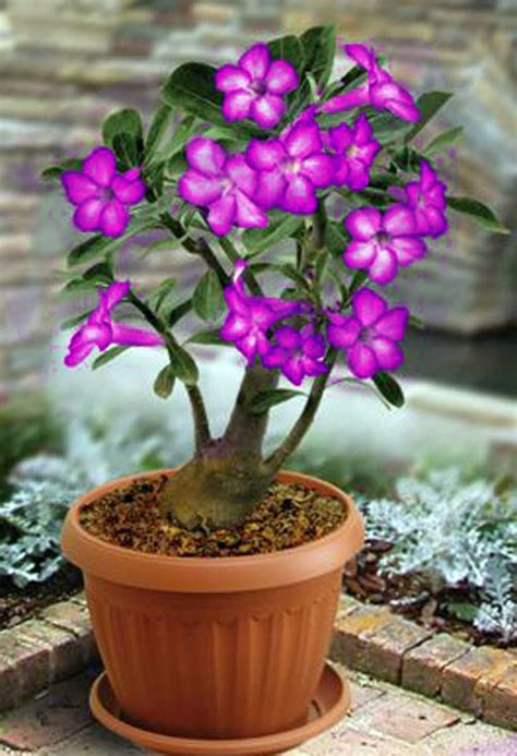 bunga adenium grosirtanamancom