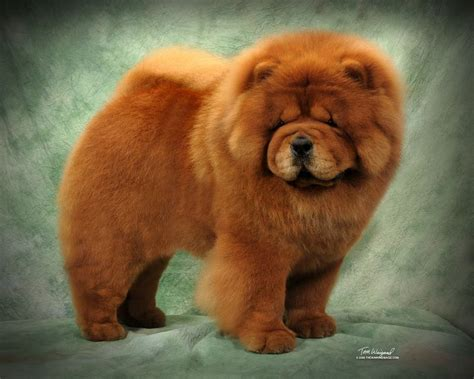 chow chow puppy price chow chow puppy for sale price cost where to buy a chow chow