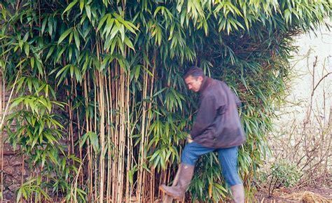 Ordinaire Un Jardin Sur Mon Balcon #4: Gros-plan-sur-le-bambou3-669x410.jpg