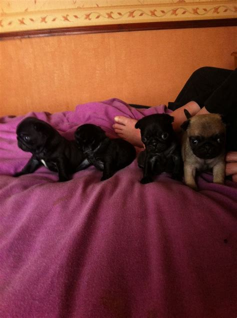 pedigree pugs for sale uk pedigree pugs for sale birmingham west midlands pets4homes