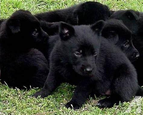 solid black german shepherd puppies for sale solid black akc german shepherd puppies for sale in phelan california classified
