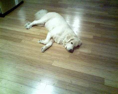 Dogs And Bamboo Floors by Bamboo Flooring Stranded Bamboo Flooring Home Bedroom
