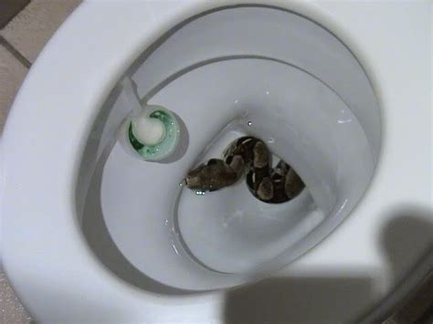 snakes found in toilets