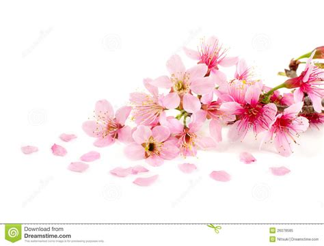 Blossom Free cherry blossom pics free wallpaper sportstle