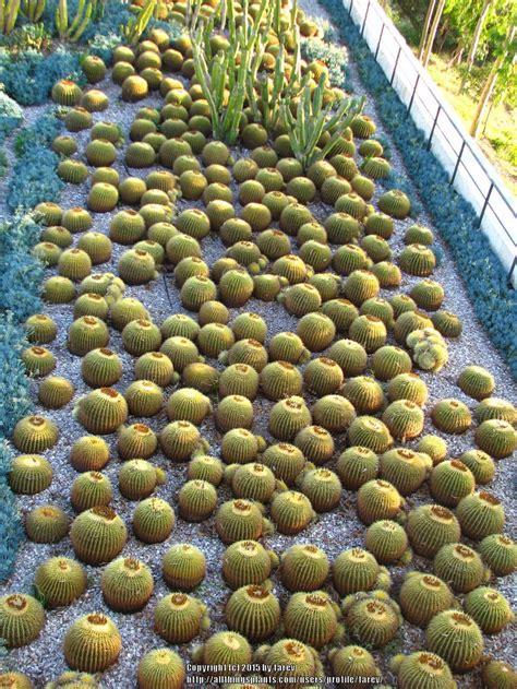 cactus and tender succulents forum golden barrel cactus transplanting garden org