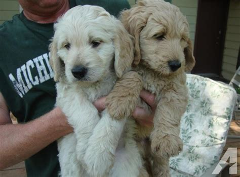 goldendoodle puppies ct f1b and american mini goldendoodles for sale in middlefield connecticut