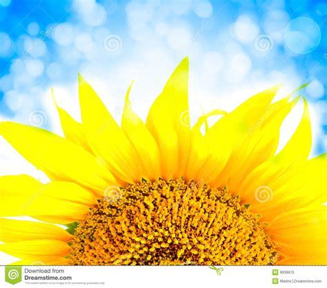 colors close to yellow beautiful yellow sunflower petals closeup stock photo