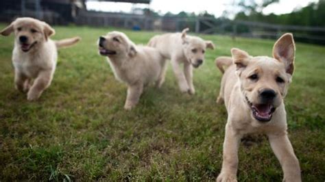 puppies running puppies running forward through a s pbs