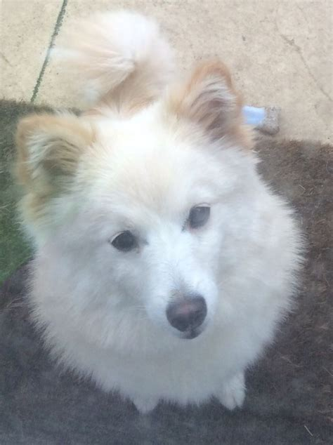 6 month pomeranian puppy 6 month pomeranian for rehoming aldershot hshire pets4homes