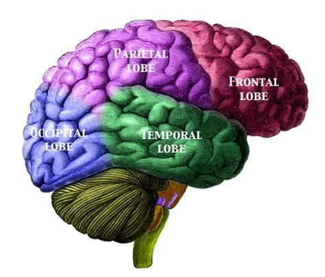 brain color brain pictures pictures of the human brain