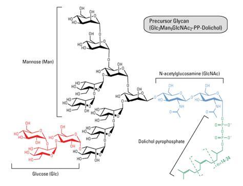 protein n glycosylation glycosylation thermo fisher scientific