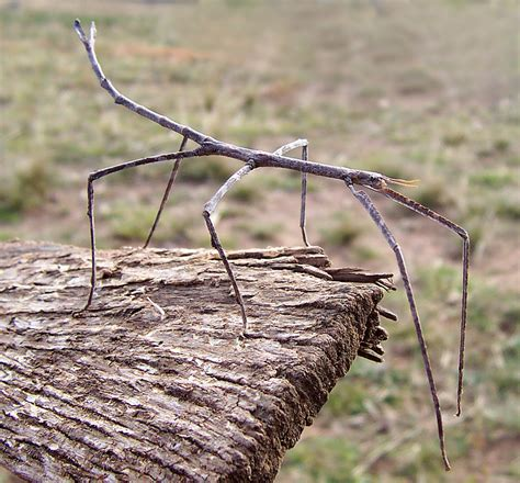 stick insect animal wildlife