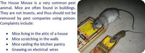 How To Get Rid Of Mice In Ceiling by Mouse Information