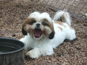 my shih tzu has a runny nose my has allergies get pharmacy advice