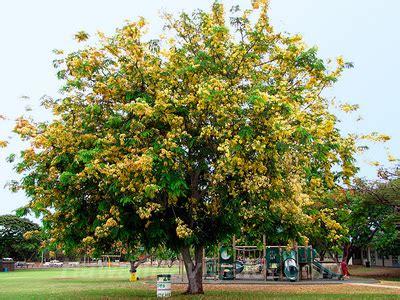 Shower Tree Hawaii by Hawaiinavigator