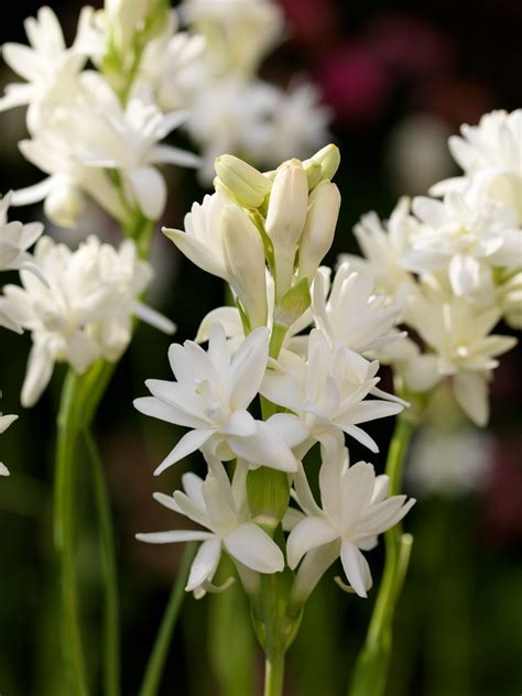 tuberose fiori plants flowers 187 polianthes tuberosa