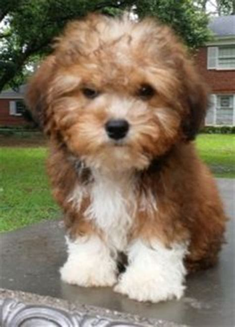 yorkie poo adults pictures yorkie poo search dogs yorkie search and