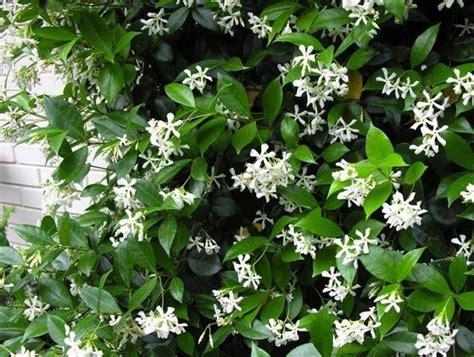 come coltivare il gelsomino in vaso coltivare il gelsomino ricante piante in giardino