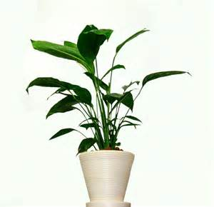 most fragrant indoor plants fragrant house photo plant