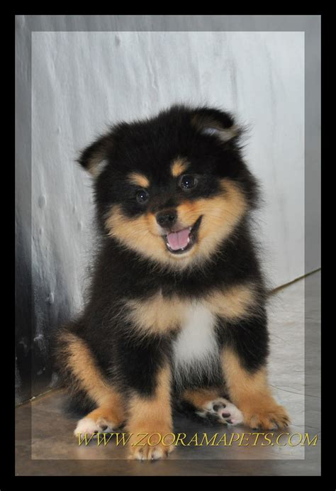 rottweiler pomeranian mix the gallery for gt white pomeranian
