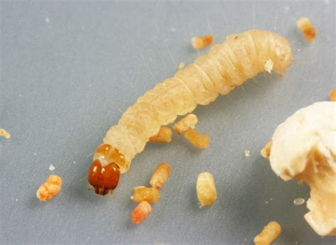 Pantry Moth Larvae by Recognizing And Controlling Insect Pests Of Stored