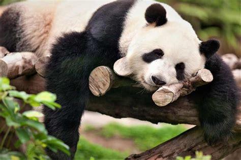 machos adultos pueden llegar hasta los 7 metros de largo y poseer mas oso panda tipos evoluci 243 n beb 233 191 d 243 nde vive