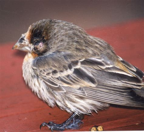 sick birds and bird diseases feederwatch