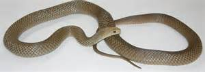 light brown snake dangerous snakes of the lakes area and fleurieu peninsula