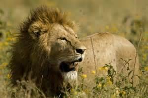 Lion Print by Serengeti Photos By Robert Zimmerman Wildlife