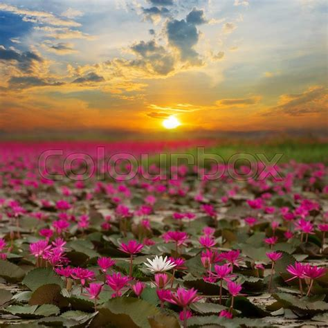 lotus flower thailand rising lotus flower in thailand stock photo