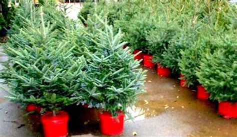 real trees at home depot 28 images shop all types of