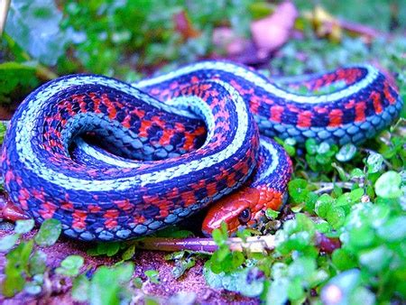 Garden Snake Names California Sided Garter Snake Coniferous Forest