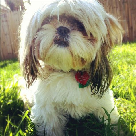 mahogany shih tzu hairstyles 105 best images about shih tzu hair cuts on pinterest