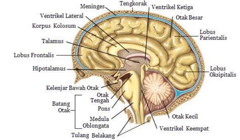 Otak Otakku sistem kordinasi pada manusia mikirbae