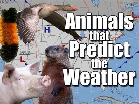 groundhog day accuracy groundhog day 2017 how accurate are punxsutawney phil s