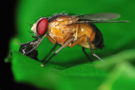 why do i have fruit flies in my bathroom why use the fly in research facts yourgenome org