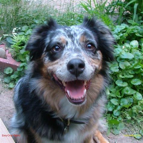 aussie rescue puppies aussie rescue of minnesota