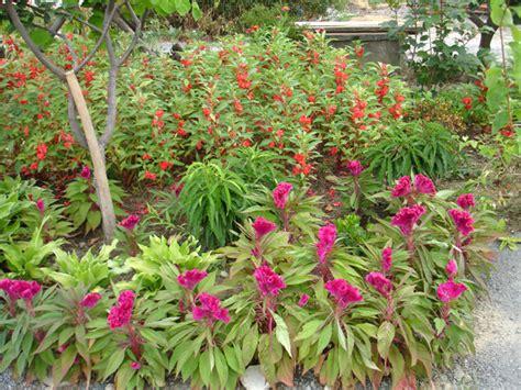 Garden Balsam by Environmental Challenges Of The Rp Garden Balsm As A