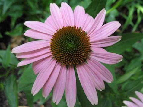 pin by alissa hilbert on echinacea purpurea cultivars pinterest