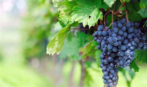 os 10 benef 237 cios da uva para sa 250 de dicas de sa 250 de os 8 melhores benef 237 cios das uvas para sa 250 de dicas de