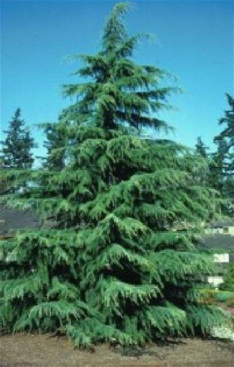 17 best images about trees on pinterest trees cedrus